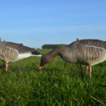 pinkfooted goose bean goose decoys
