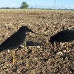 crow decoy flocked