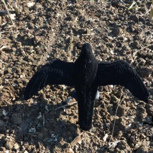 crow decoy with wings full body flocked
