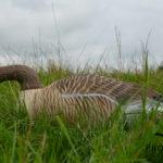 greylag goose floaters